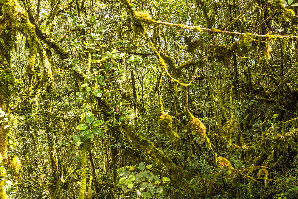 The Mossy Forest, Gunung Brinchang, Cameron Highlands, Pahang, Malaysia, Southeast Asia, Asia - 1297-1047