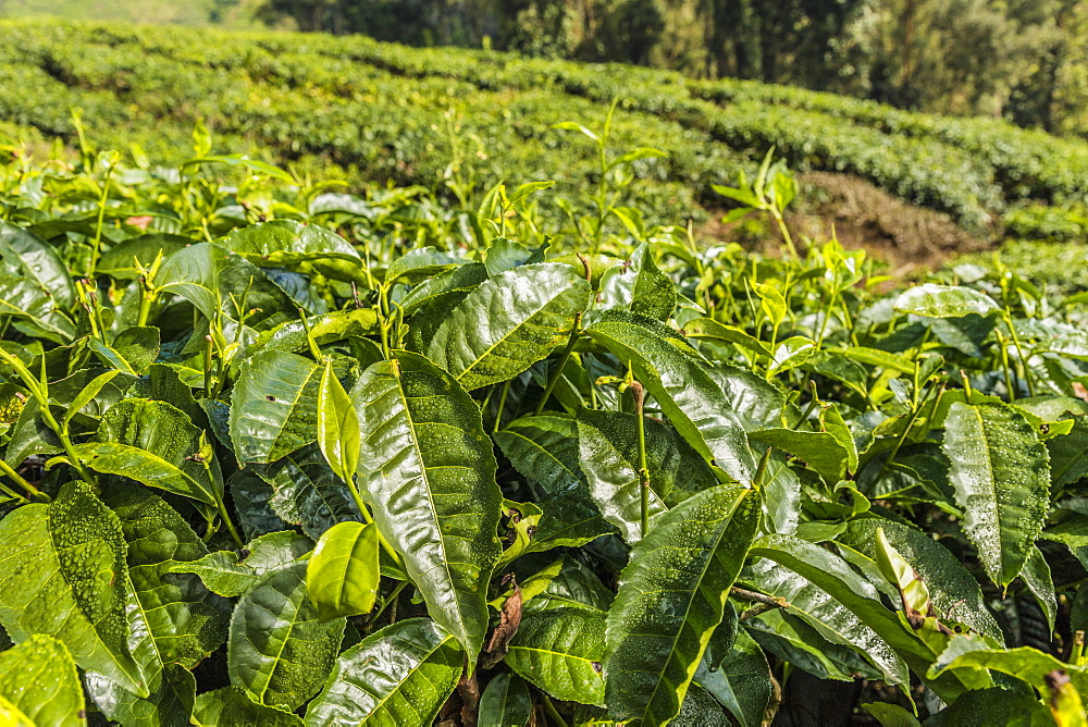 A tea plantation in Cameron Highlands, Pahang, Malaysia, Southeast Asia, Asia - 1297-1051
