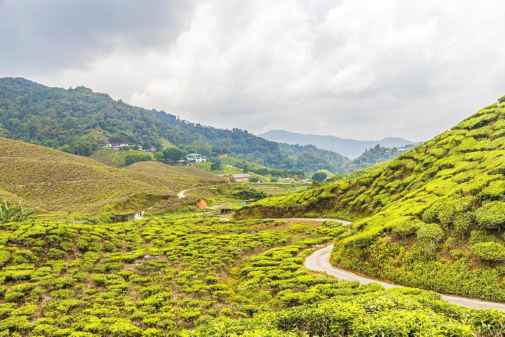 A tea plantation in Cameron Highlands, Pahang, Malaysia, Southeast Asia, Asia - 1297-1053