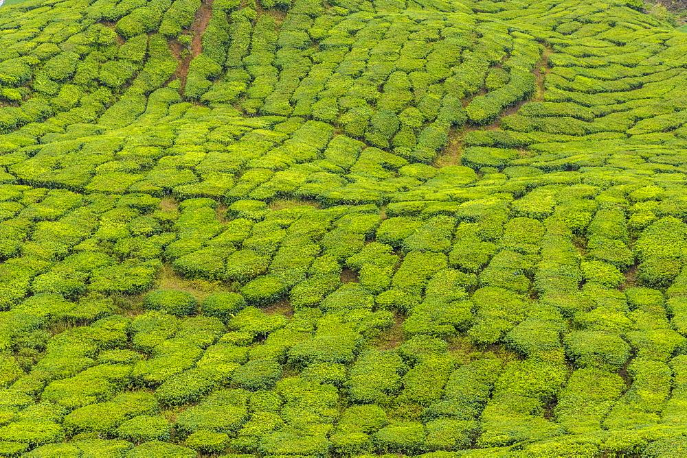 A tea plantation in Cameron Highlands, Pahang, Malaysia, Southeast Asia, Asia - 1297-1054