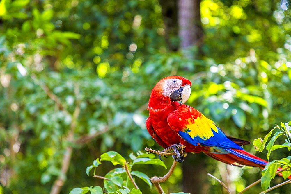 A Scarlet Macaw in the Copan Ruins, Copan, Honduras, Central America