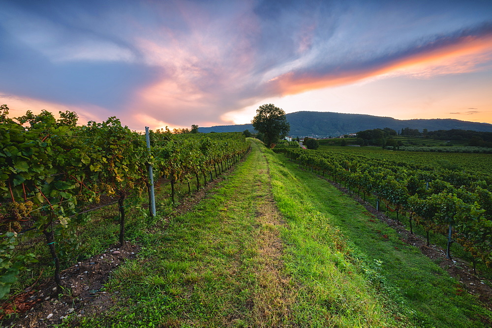 Franciacorta vineyards at sunset in Brescia province, Lombardy district, Italy. - 1299-108