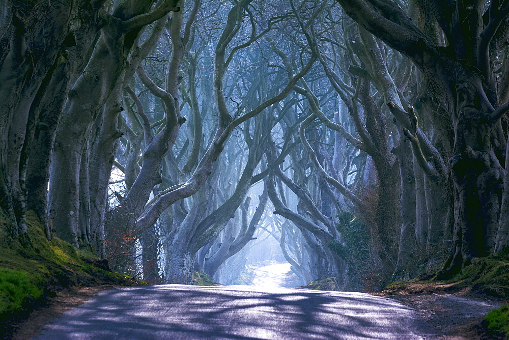The Dark Hedges in North Ireland, Ballymoney, Ulster, Northern Ireland, United Kingdom, Europe - 1299-34