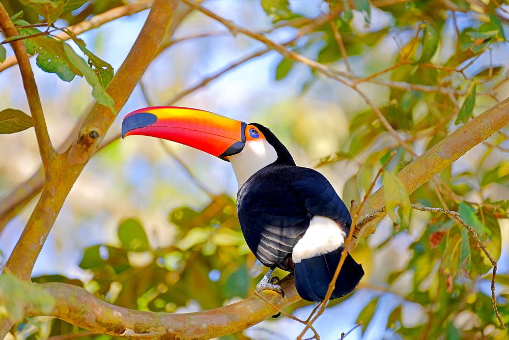 Toco Toucan (Ramphastos Toco) (Common Toucan) (Giant Toucan), Iguazu (Iguacu), Parana, Brazil, South America