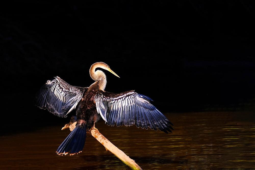 Anhinga (Anhinga Anhinga) (Snakebird) (Darter), Cuiaba River, Pantanal, Mato Grosso do Sul, Brazil, South America - 1301-11