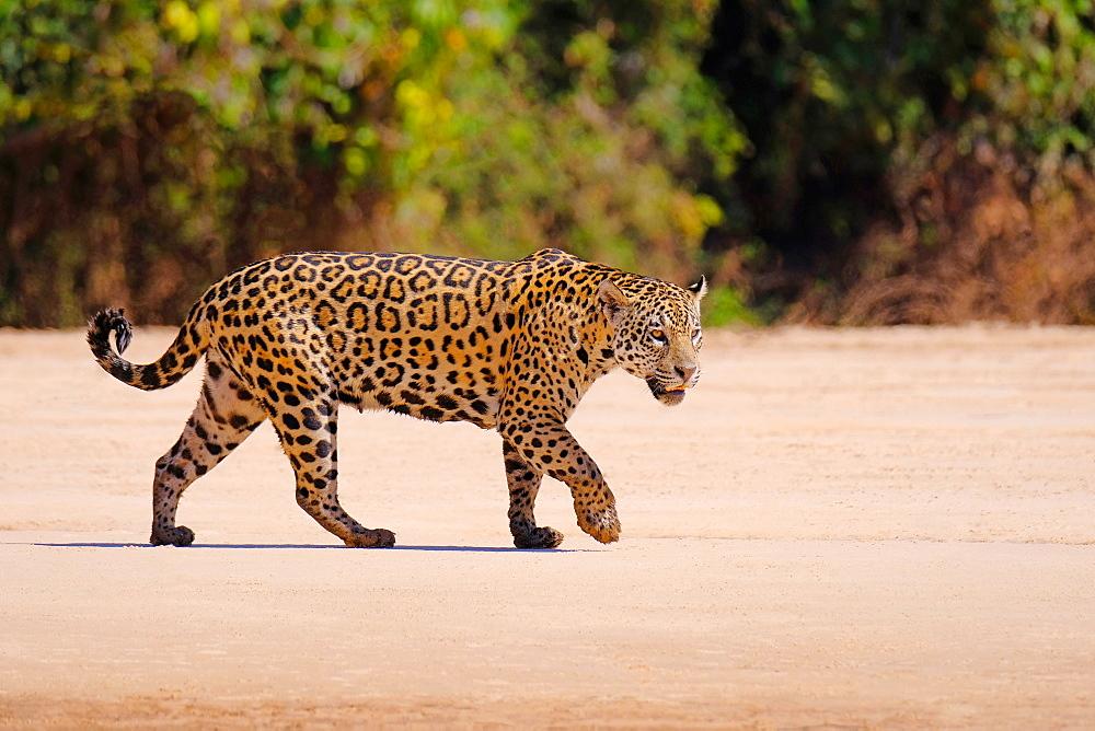 Jaguar (Panthera Onca), female, Cuiaba River, Porto Jofre, Pantanal Matogrossense, Mato Grosso do Sul, Brazil, South America - 1301-12