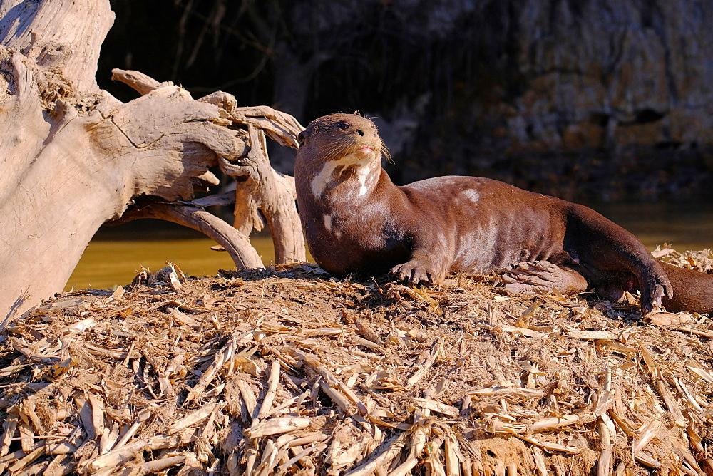 Giant Otter (Giant River Otter) (Pteronura brasiliensis), Cuiaba River, Pantanal, Mato Grosso do Sul, Brazil, South America - 1301-16