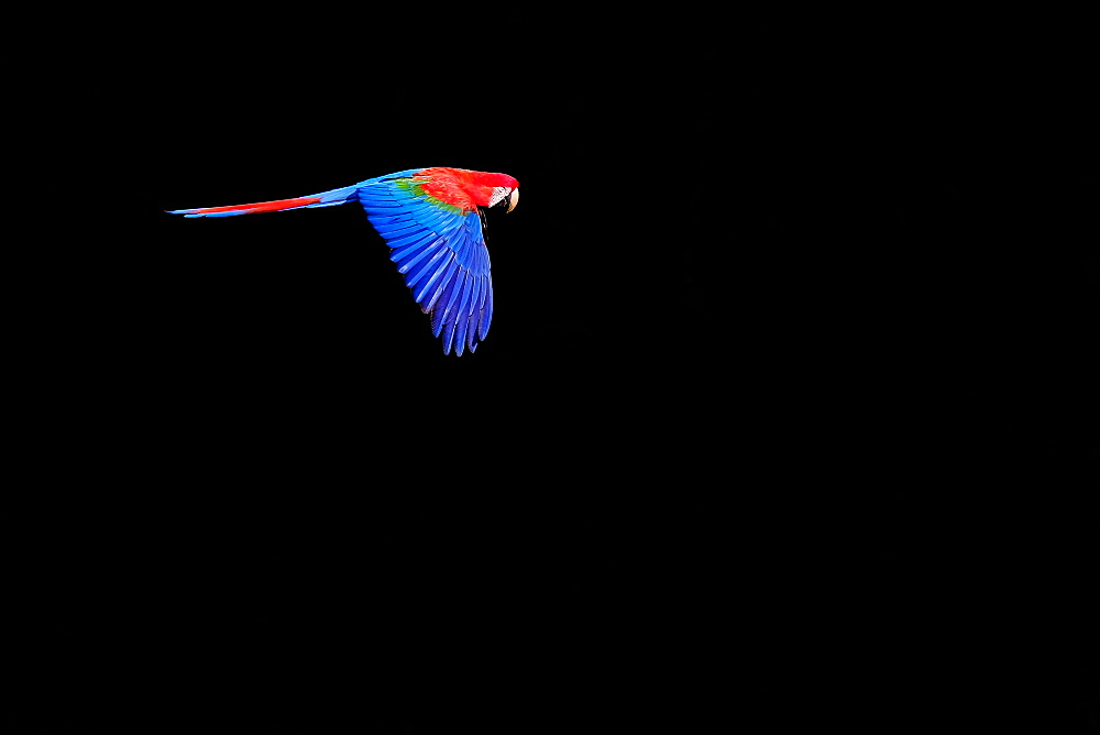 Flying red and green macaw (Ara Chloropterus), Buraco Das Araras, Pantanal, Mato Grosso do Sul, Brazil, South America