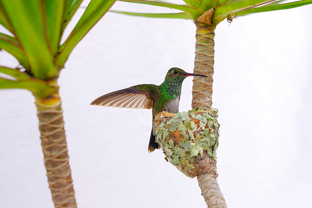 Female Glittering-bellied emerald hummingbird (Chlorostilbon Lucidus) flying back to her nest, Brazil, South America