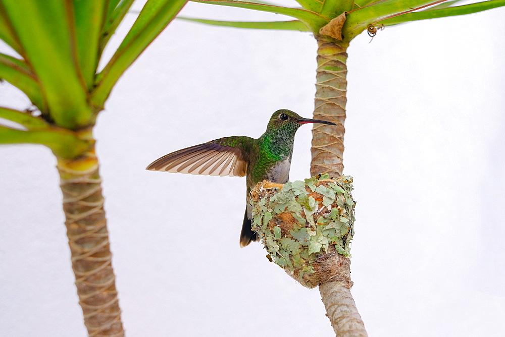 Female Glittering-bellied emerald hummingbird (Chlorostilbon Lucidus) flying back to her nest, Brazil, South America - 1301-18