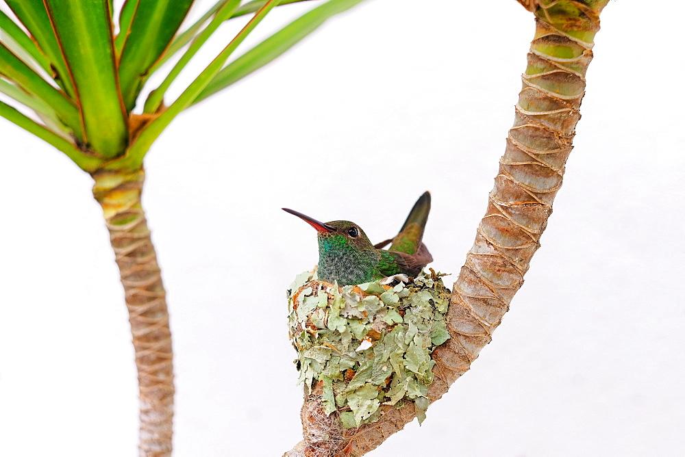 Female Glittering-bellied emerald hummingbird (Chlorostilbon Lucidus) sitting in her nest and hatching the eggs, Brazil, South America - 1301-19