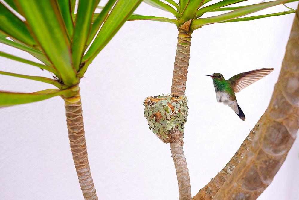 Female Glittering-bellied emerald hummingbird (Chlorostilbon Lucidus) flying back to her nest, Brazil, South America - 1301-20