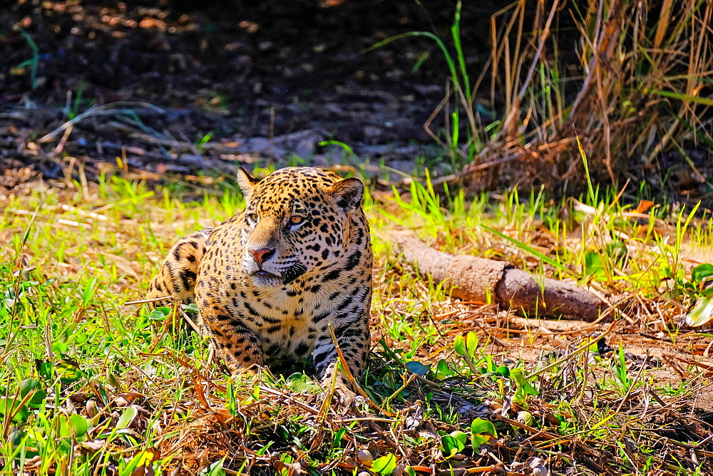 Jaguar (Panthera Onca) on a riverbank, Cuiaba River, Porto Jofre, Pantanal Matogrossense, Mato Grosso, Brazil, South America - 1301-24