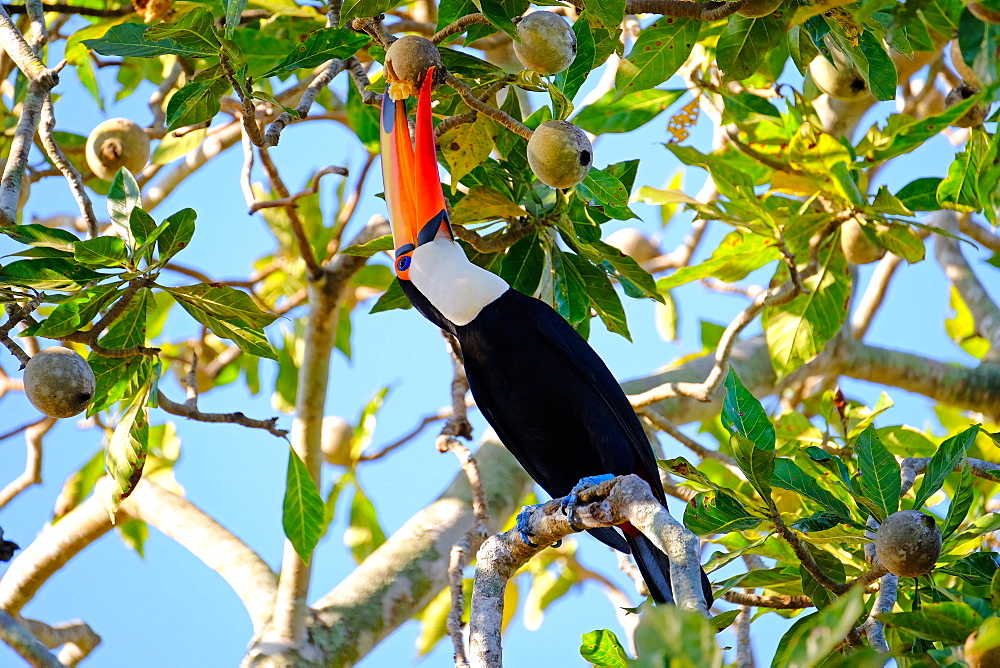 Toco Toucan (Ramphastos Toco) (Common Toucan) (Giant Toucan), Porto Jofre, Pantanal, Mato Grosso do Sul, Brazil, South America