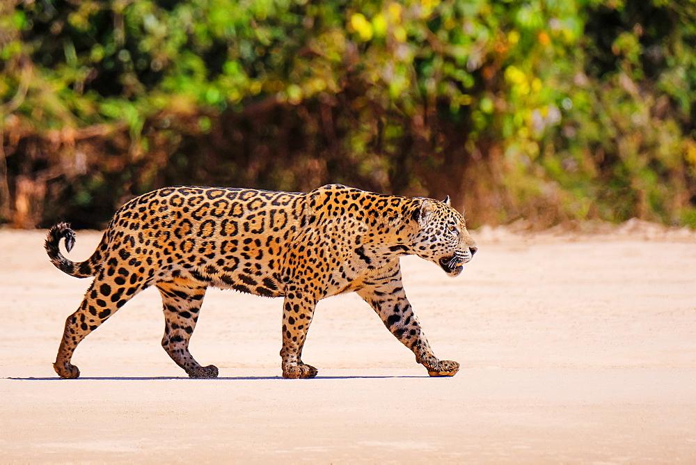 Jaguar (Panthera Onca), female, Cuiaba River, Porto Jofre, Pantanal Matogrossense, Mato Grosso do Sul, Brazil, South America - 1301-31