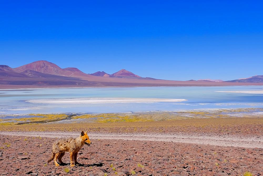 Andean fox, culpeo, Lycalopex Culpaeus, at Lagoon Laguna Brava, near Paso Pircas Negras pass, Argentina, La Rioja, South America - 1301-39