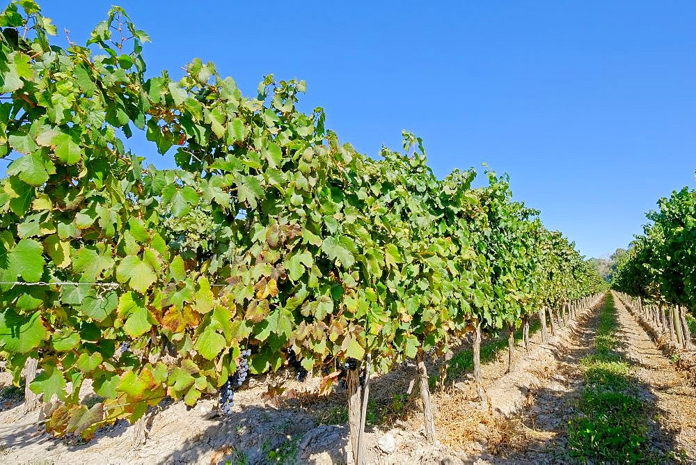 Old organic malbec vineyards in San Juan, San Juan Province, Argentina South America - 1301-43