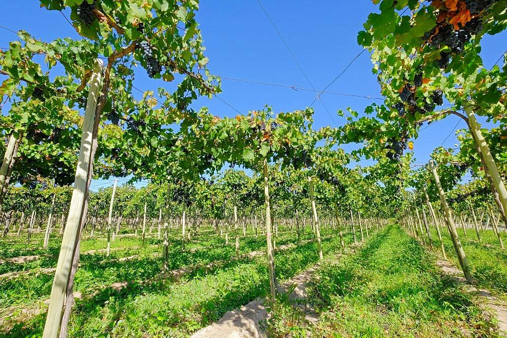 Old organic malbec vineyards in San Juan, San Juan Province, Argentina South America - 1301-44