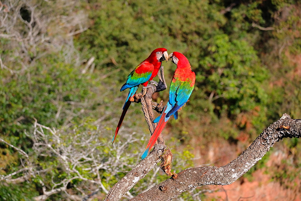 Red and Green Macaw (Ara Chloropterus), Buraco Das Araras, near Jardim and Bonito, Pantanal, Mato Grosso do Sul, Brazil, South America
