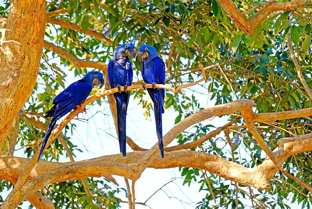Hyacinth Macaw (Anodorhynchus Hyacinthinus) (Hyacinthine Macaw), Porto Jofre, Pantanal, Mato Grosso do Sul, Brazil, South America - 1301-6
