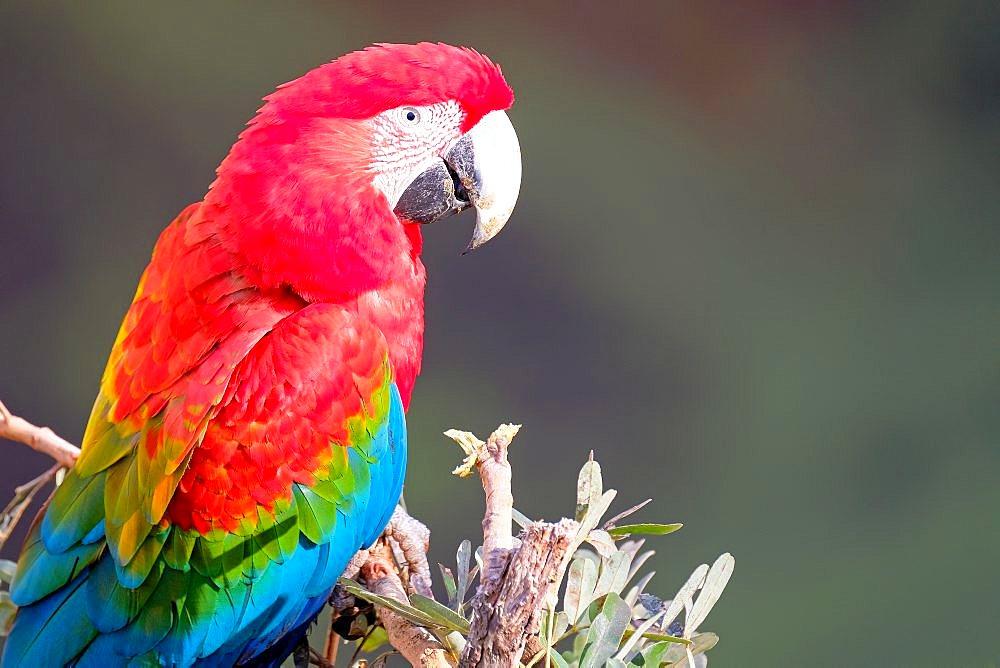 Red And Green Macaw, Ara Chloropterus, Buraco Das Araras, near Jardim and Bonito, Pantanal, Mato Grosso do Sul, Brazil - 1301-68