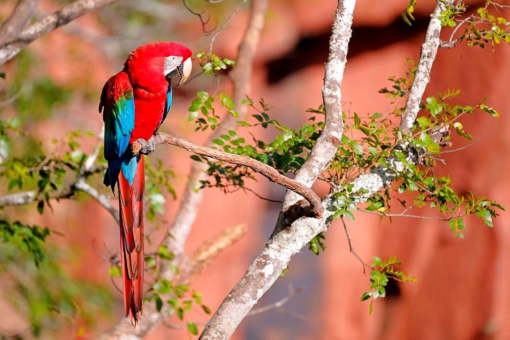 Red And Green Macaw, Ara Chloropterus, Buraco Das Araras, near Jardim and Bonito, Pantanal, Mato Grosso do Sul, Brazil - 1301-69