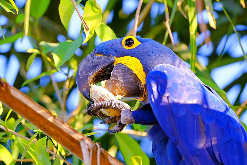 Hyacinth Macaw (Anodorhynchus Hyacinthinus) (Hyacinthine Macaw), Porto Jofre, Pantanal, Mato Grosso do Sul, Brazil, South America - 1301-7