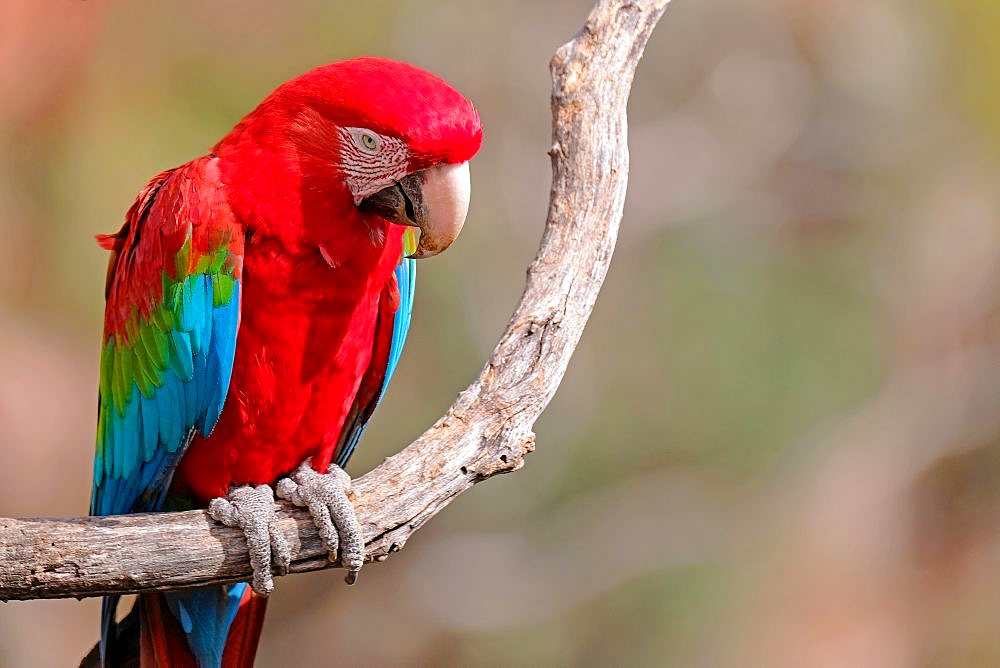 Red And Green Macaw, Ara Chloropterus, Buraco Das Araras, near Jardim and Bonito, Pantanal, Mato Grosso do Sul, Brazil - 1301-70