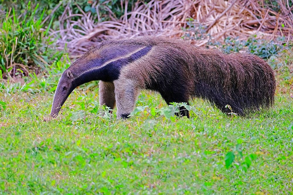 Giant Anteater, Myrmecophaga Tridactyla, also known as the Ant Bear, Matto Grosso Do Sul, Pantanal, Brazil, South America - 1301-73