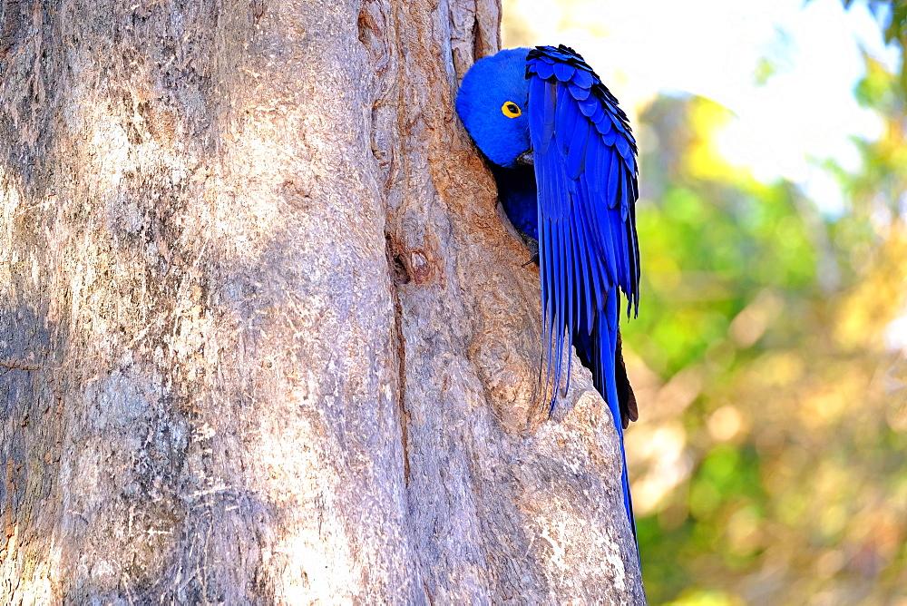 Hyacinth Macaw (Anodorhynchus Hyacinthinus) (Hyacinthine Macaw), Porto Jofre, Pantanal, Mato Grosso do Sul, Brazil, South America - 1301-8