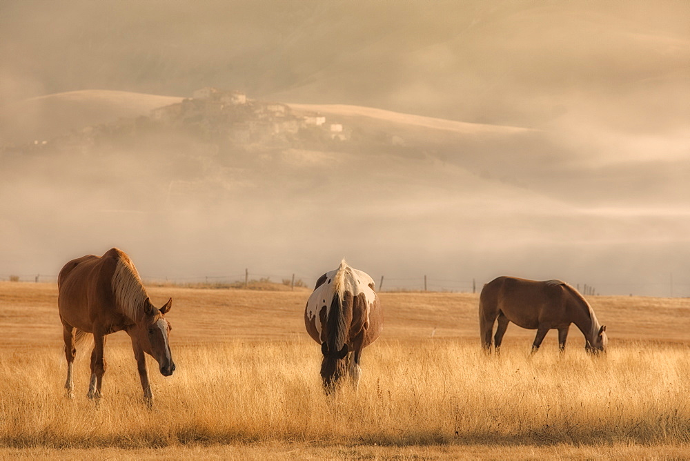 Horses grazing in the national park of the Sibillini mountains, Umbria, Italy, Castelluccio di Norcia