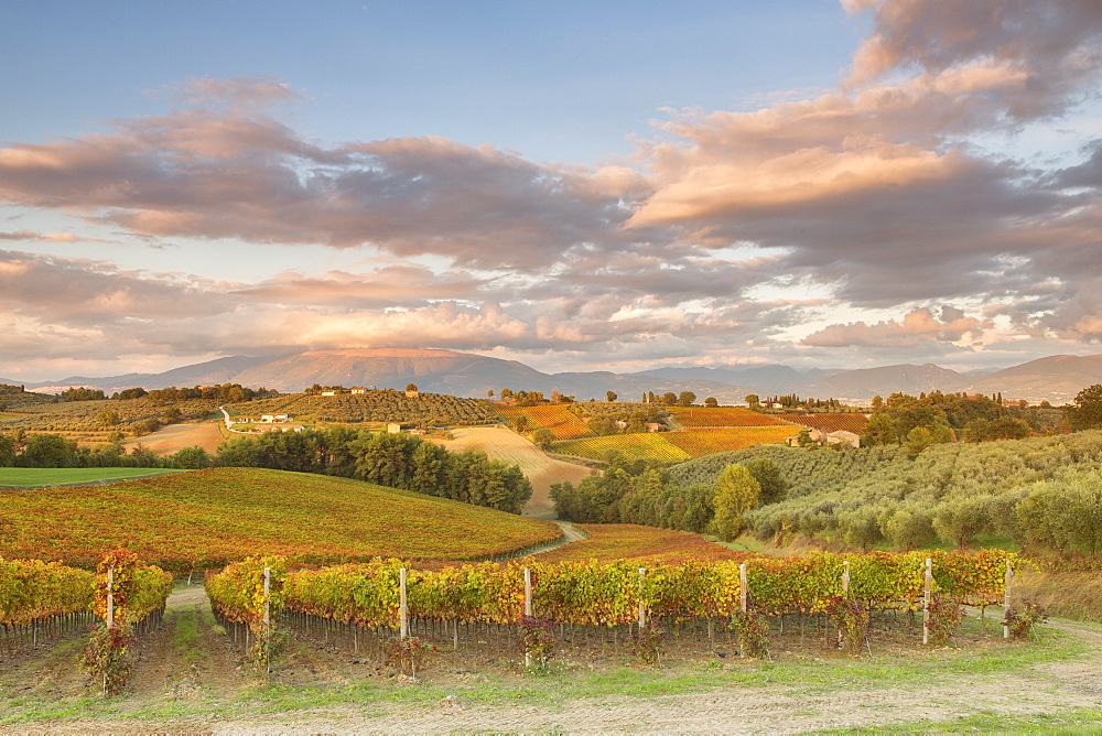 Vineyards of Sagrantino di Montefalco in autumn, Umbria, Italy, Europe