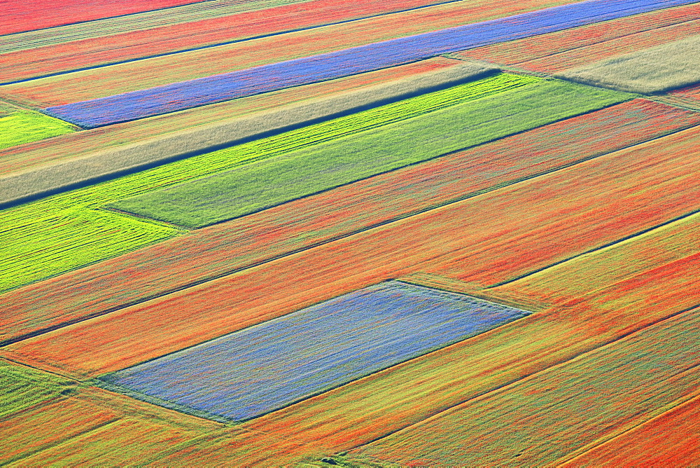 Lentil fields in bloom in Castelluccio di Norcia, Umbria, Italy, Europe