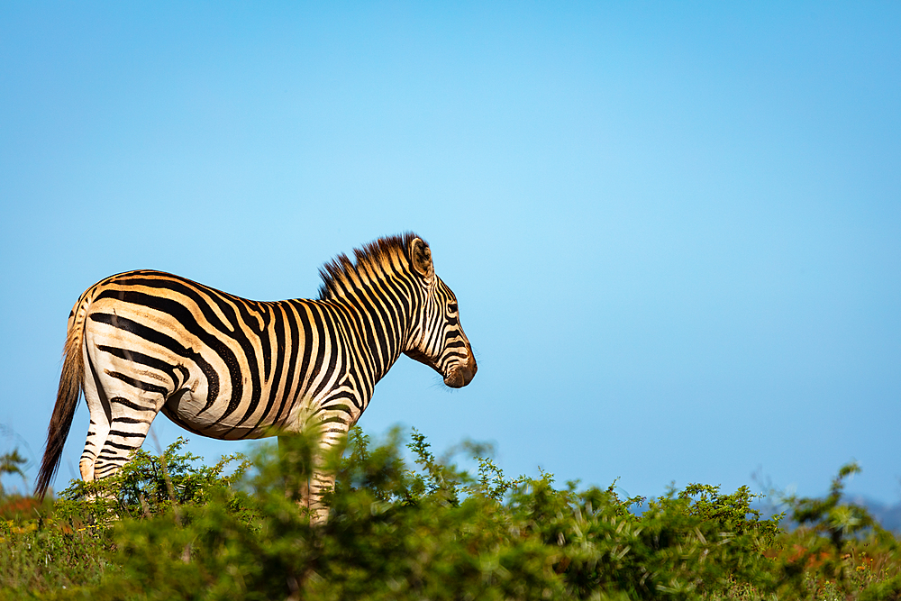 Zebra on Safari, South Africa, Africa - 1304-104