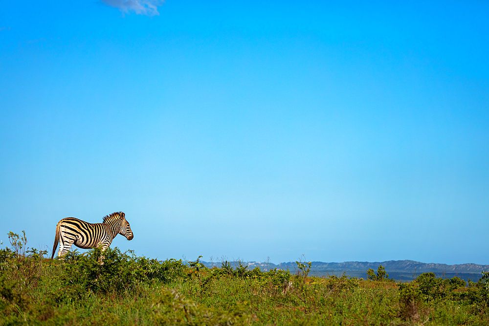Zebra on Safari, in South Africa.