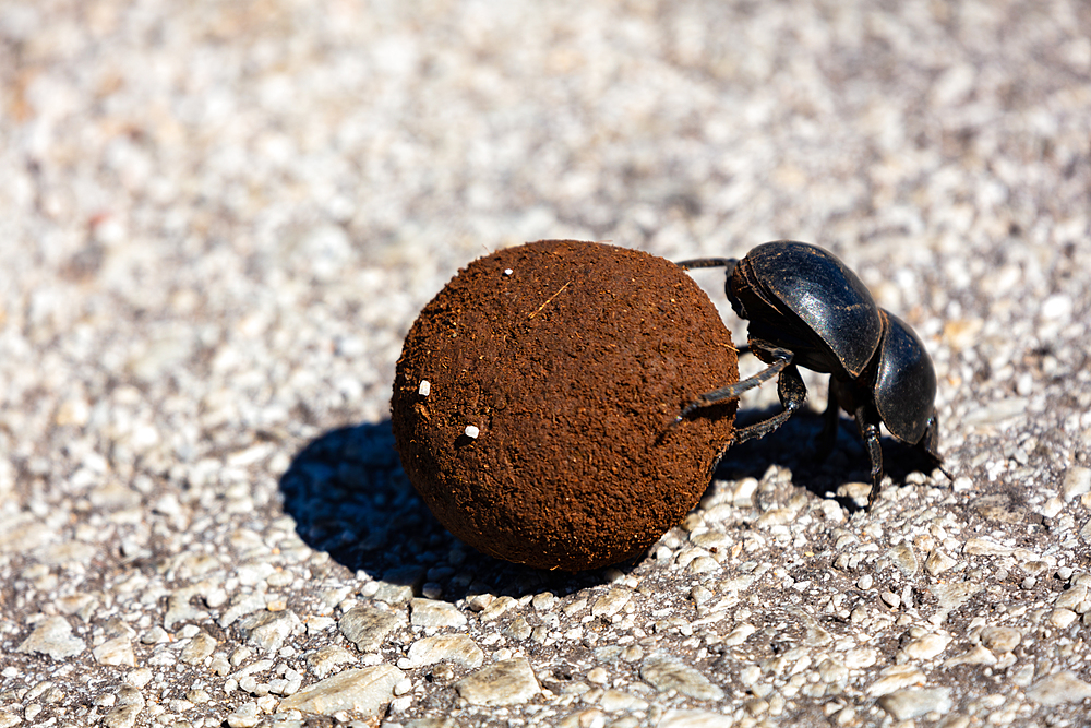 A dung beetle, rolling dung on the road in South Africa.