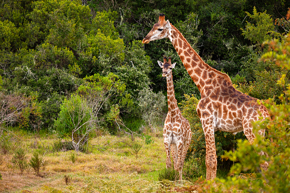 Giraffes on Safari in South Africa, in a private game reserve.