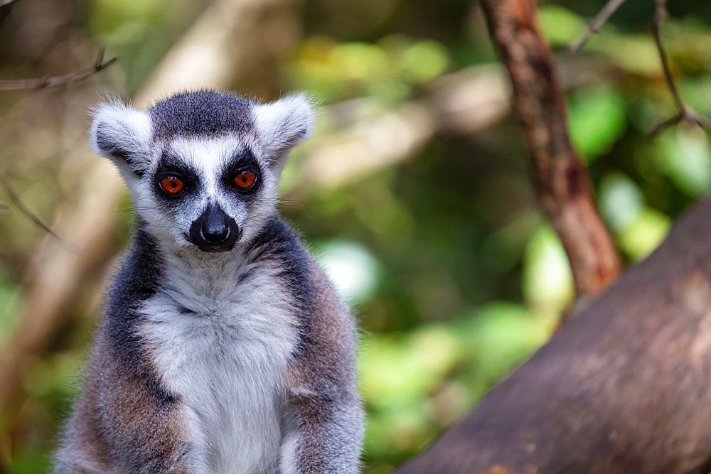 Ring Tailed Lemur in a sanctuary, South Africa, Africa - 1304-112