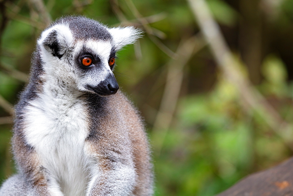 Ring Tailed Lemur in a sanctuary in South Africa.
