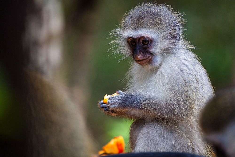 Vervet Monkey, in a South Africa Sanctuary, South Africa, Africa - 1304-114