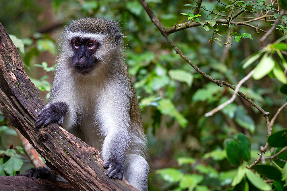 Vervet Monkey, in a South Africa Sanctuary, South Africa, Africa - 1304-115