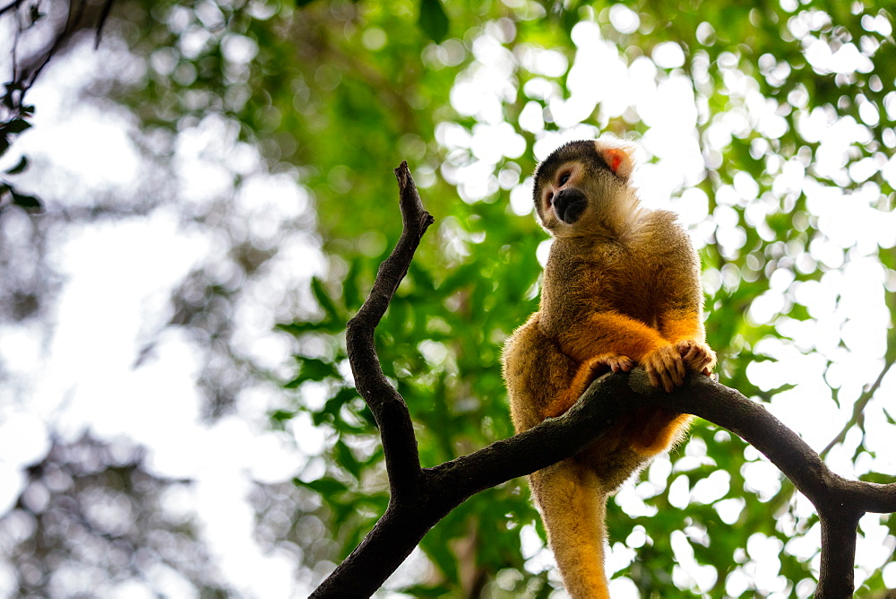 Black Capped Squirrel Monkey, South Africa, Africa