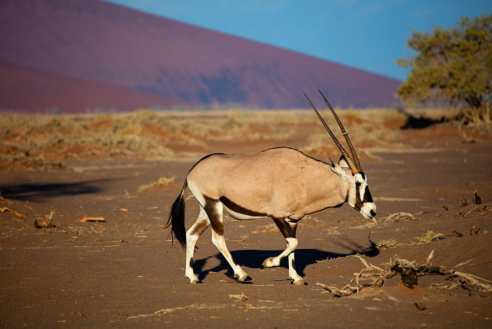 Oryx strolls through the Sossusvlei National Park, Namibia, Africa - 1304-26