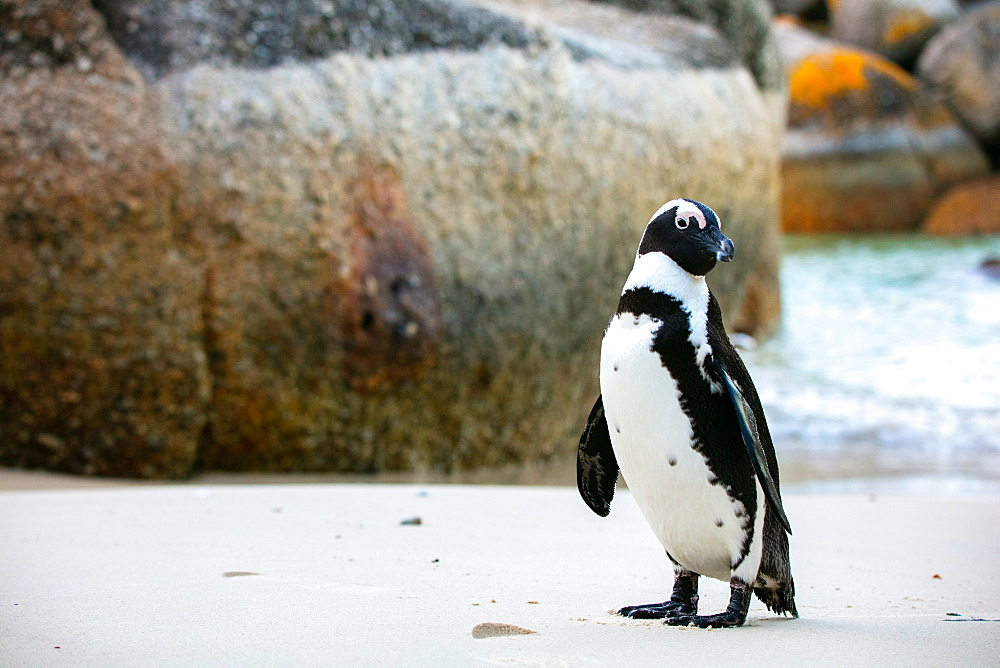 African Penguin, Boulders Beach in Cape Town, South Africa, Africa - 1304-60