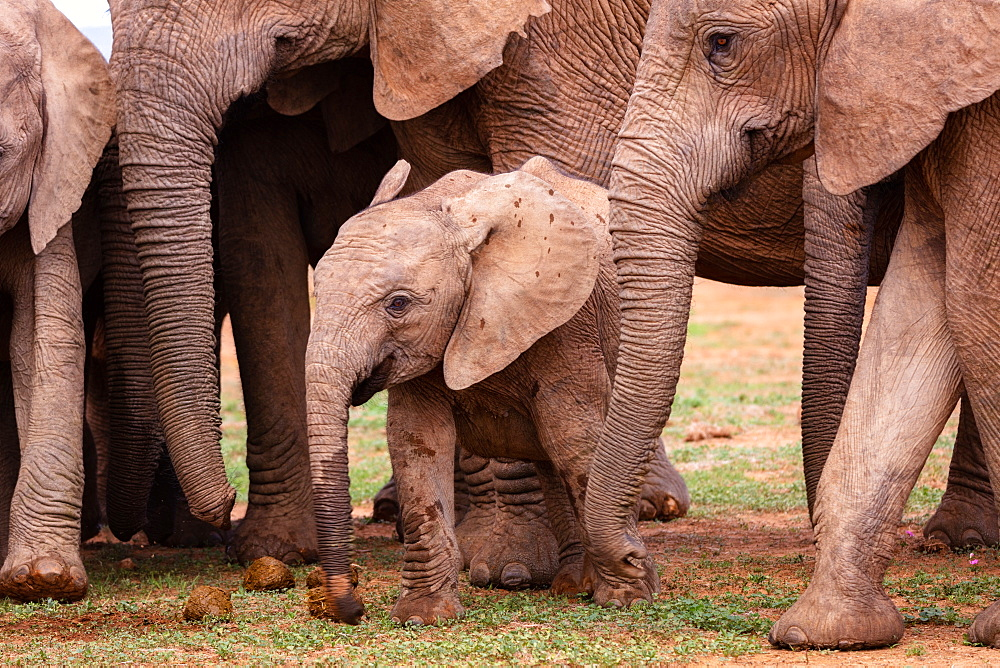 Elephants at Addo Elephant Park in South Africa, Shot in March 2019