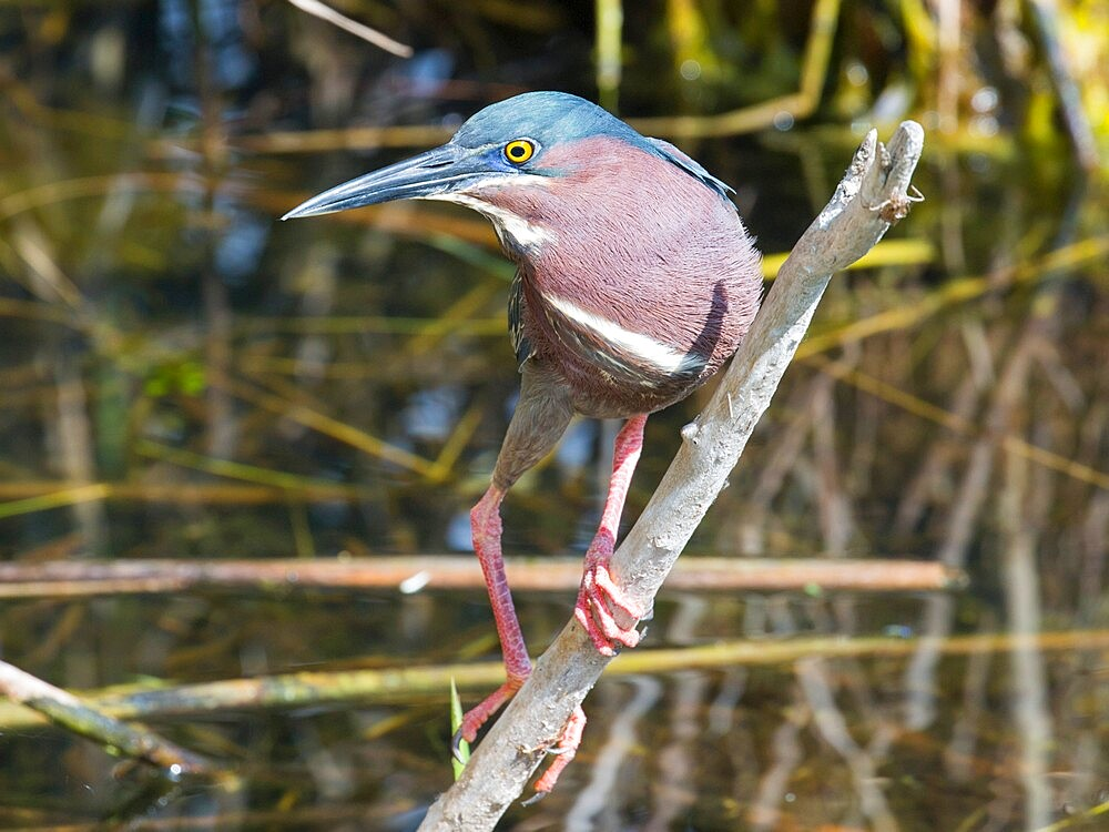 Green heron, Butorides virescens, perching over water beside the Anhinga Trail, Everglades National Park, Florida, USA - 1310-292