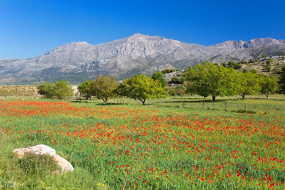 View across field of wild poppies to Mount Dikti, near Tzermiado, Lasithi Plateau, Lasithi (Lassithi), Crete, Greek Islands, Greece, Europe