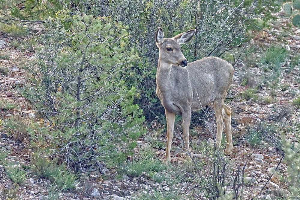 A Mule Deer native to Arizona roaming the forest near Prescott, Arizona, United States of America, North America