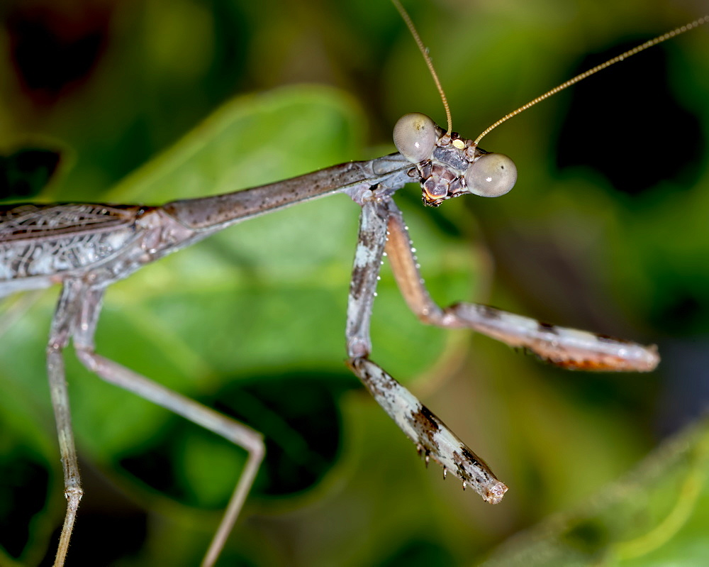 Closeup of a male Praying Mantis native to Arizona on the hunt for a female, Arizona, United States of America, North America - 1311-243
