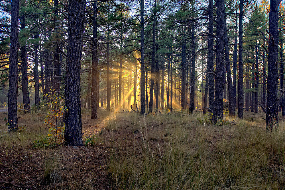 HDR composite of the late day sun shining through the trees of the Kaibab Forest near Williams, Arizona, United States of America, North America - 1311-252